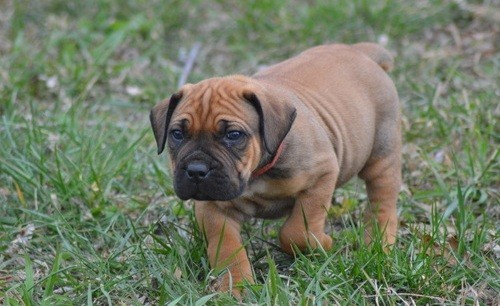 Healthy Male and Female Boerboel puppies looking for a good home